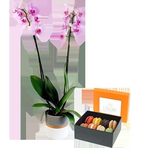 Phalaenopsis rose et son écrin de macarons Chocolats LOUIS