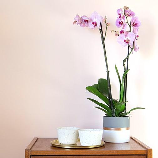 Plantes vertes et fleuries Phalaenopsis rose