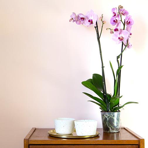 Plantes vertes et fleuries Phalaenopsis rose + cache pot