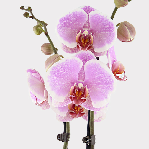 Plantes vertes et fleuries Orchidée rose