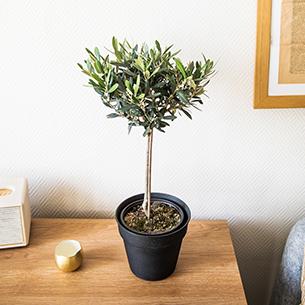 Plantes vertes et fleuries Olivier tige 70 cm