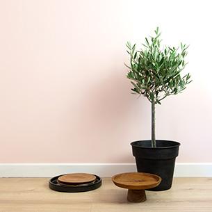 Plantes vertes et fleuries Olivier + cache pot