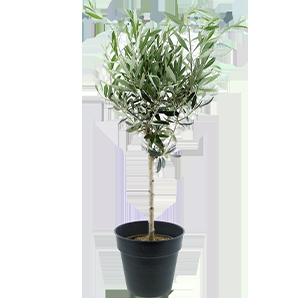 Plantes vertes et fleuries Olivier tige 70 cm Code Promo