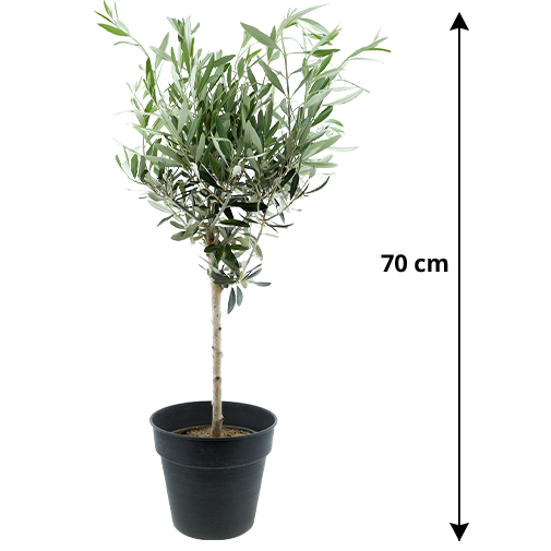 Plantes vertes et fleuries Olivier tige - 70 cm + cache pot