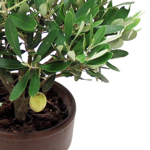 Olivier plantes l 39 atelier interflora interflora for Fleuriste livreur