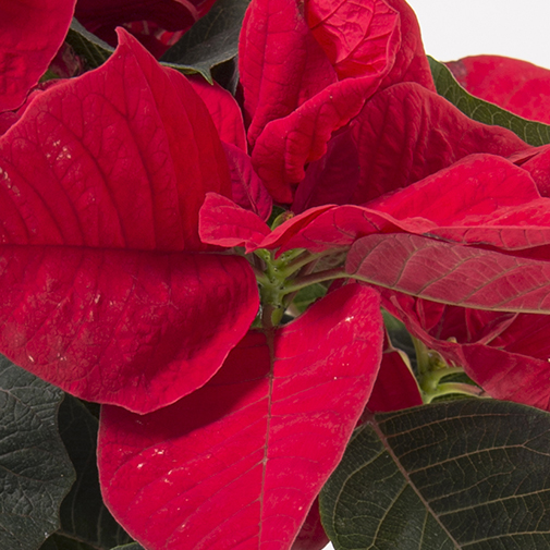 null Poinsettia gourmand