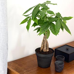 Plantes vertes et fleuries Pachira Journée internationale de l'Amitié