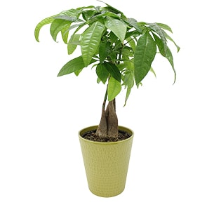 Plantes vertes et fleuries PachiraCollection Homme Trendy