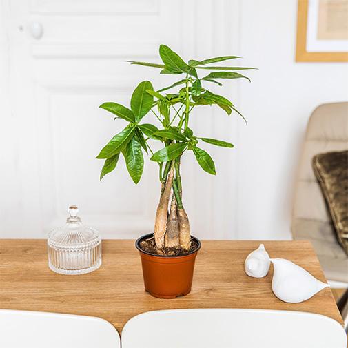 Bouquet de fleurs Pachira + cache pot