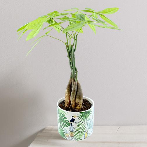 "Plantes vertes et fleuries Pachira ""Jungle"""