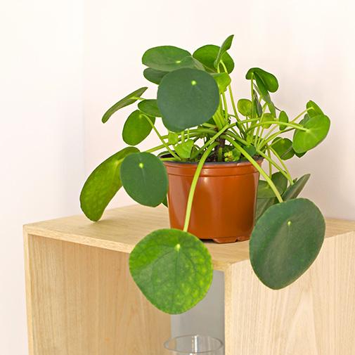 Plantes vertes et fleuries Pilea peperomioides