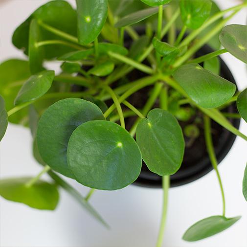Plantes vertes et fleuries Pilea peperomioides + cache pot