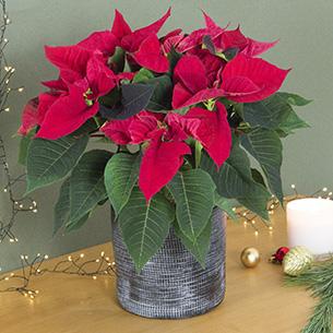 Bouquet de fleurs Poinsettia + cache pot