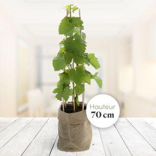 Plantes vertes et fleuries Pied de vigne Collection Hommes