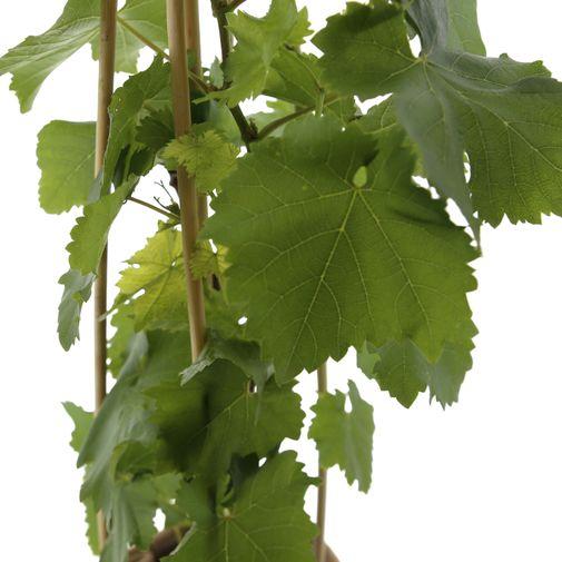 Plantes vertes et fleuries Pied de vigne