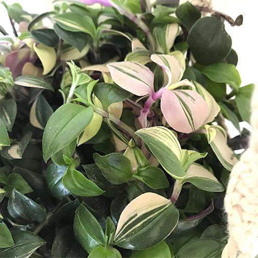 plante verte suspendue livraison par chronopost l 39 atelier interflora interflora. Black Bedroom Furniture Sets. Home Design Ideas