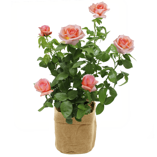 "Rosier jardin ""Georges Delbard"""