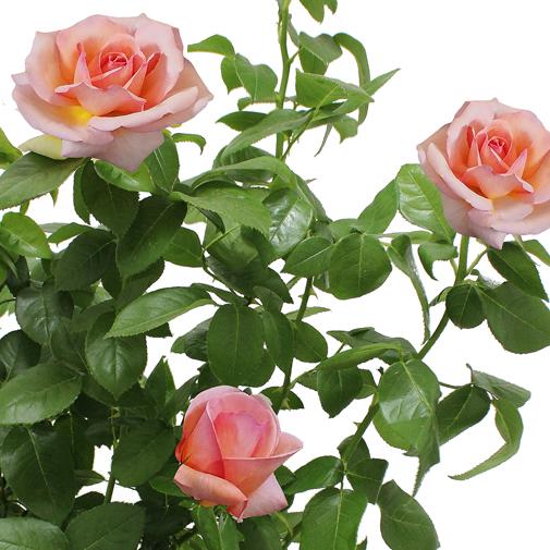"Plantes vertes et fleuries Rosier jardin ""Georges Delbard"""