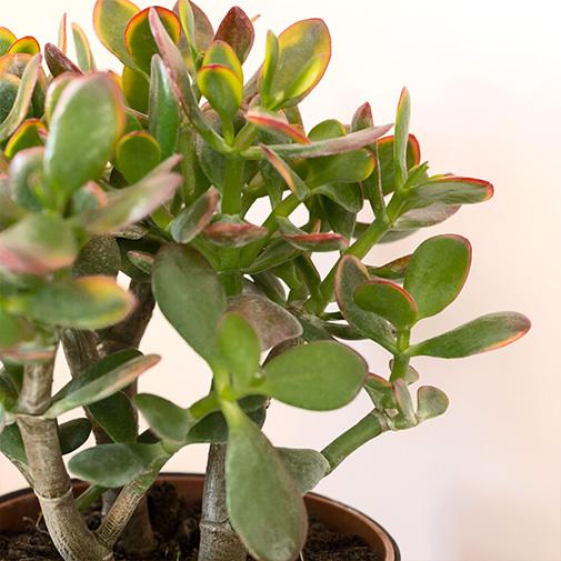 Plantes vertes et fleuries Crassula ovata + cache pot