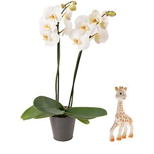 Fleurs et cadeaux Bébé joueur Sophie la girafe Naissance bébé garçon