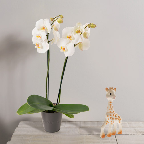Fleurs et cadeaux Bébé joueur Sophie la girafe