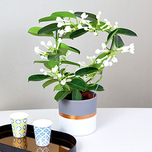 Plantes vertes et fleuries Stéphanotis Fête des Grands-Mères