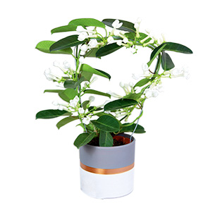 Plantes vertes et fleuries Stéphanotis Fête du chocolat
