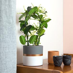 Plantes vertes et fleuries Stéphanotis Collection Naissance