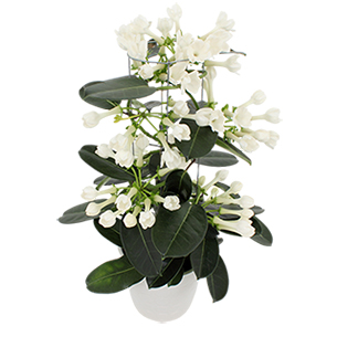 Stephanotis - interflora