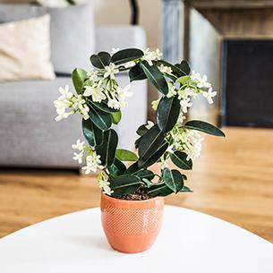 Plantes vertes et fleuries Stéphanotis Mariage