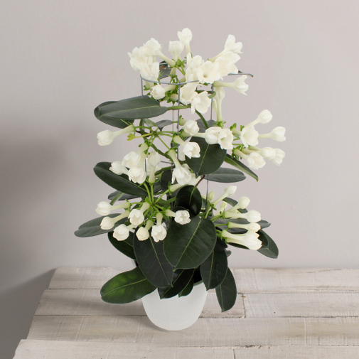Stephanotis plantes l 39 atelier interflora interflora for Fleuriste livreur