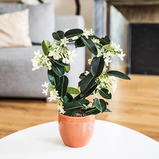 Plantes vertes et fleuries Stéphanotis + cache pot