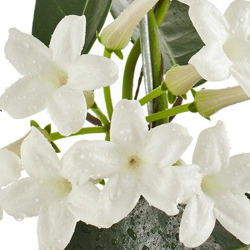 Plantes vertes et fleuries Stéphanotis