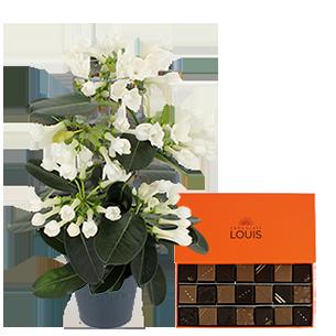 Bouquet de fleurs Stéphanotis et ses chocolats LOUIS Collection Hommes