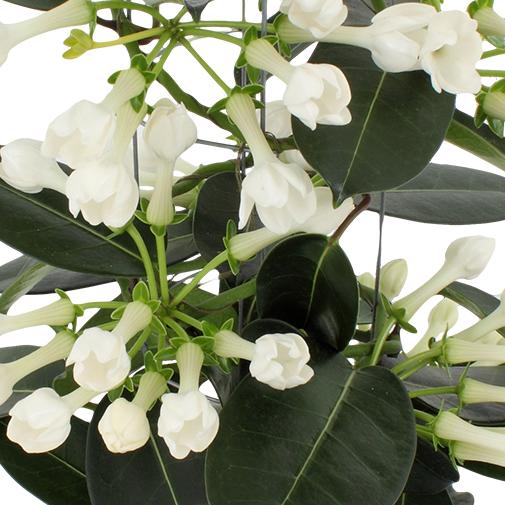 Bouquet de fleurs Stéphanotis et ses chocolats LOUIS