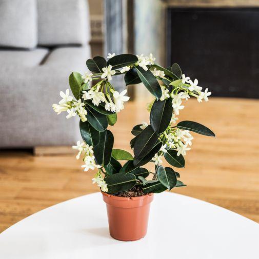 Bouquet de fleurs Stéphanotis et son cache pot