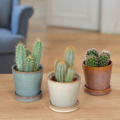 Plantes vertes et fleuries Trio de Cactus