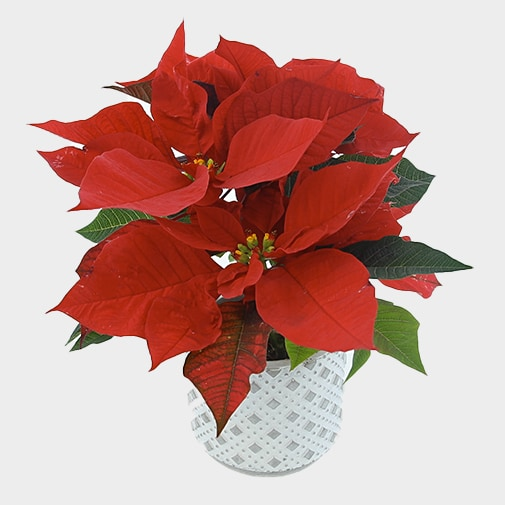 null Trio de poinsettias