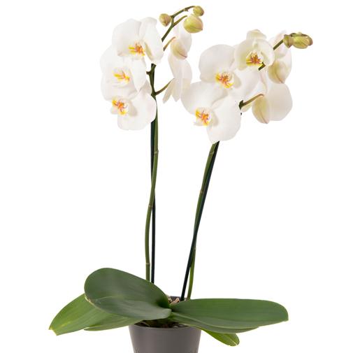 Fleurs et cadeaux Bulle de joie Veuve Clicquot
