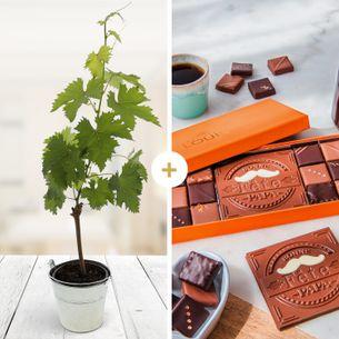 Plantes vertes et fleuries Pied de vigne et ses chocolats Bonne fête Papa