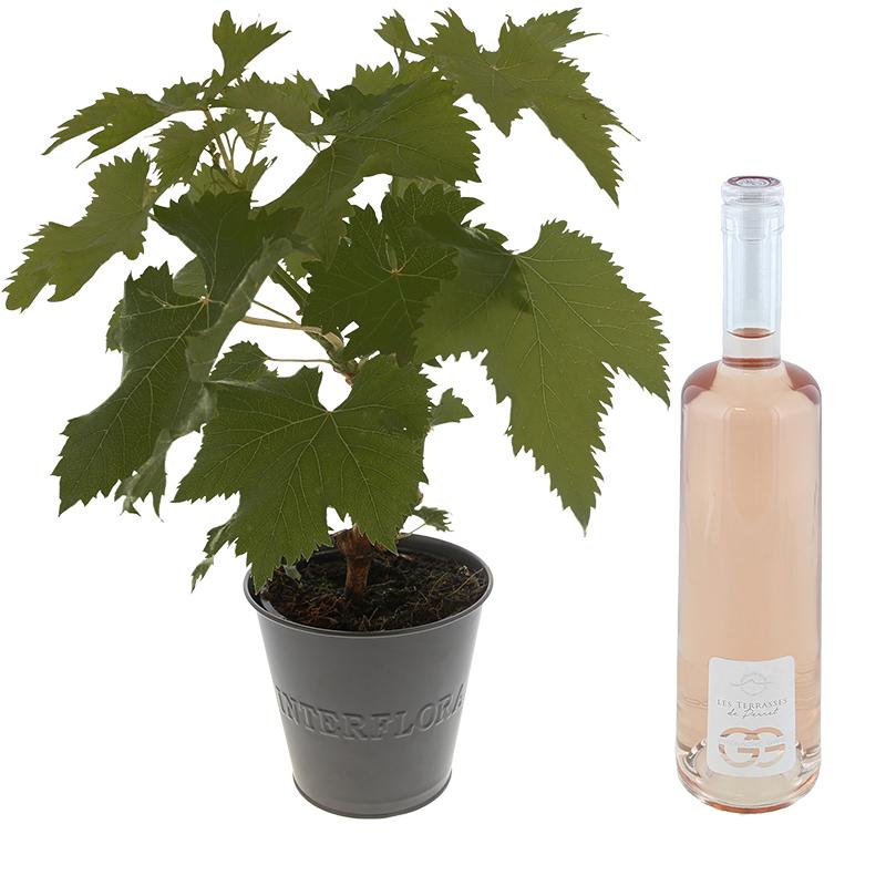 Pied de vigne et son ros les terrasses du perret coffret cadeau livraison par chronopost - Livraison chronopost le samedi ...