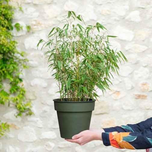 Plantes vertes et fleuries Bambou Fargesia