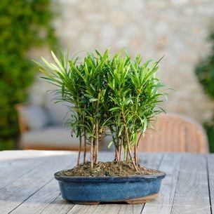 Plantes vertes et fleuries Bonsaï Podocarpus
