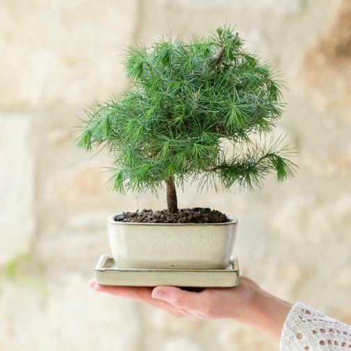 Plantes vertes et fleuries Bonsaï Pinus Tree