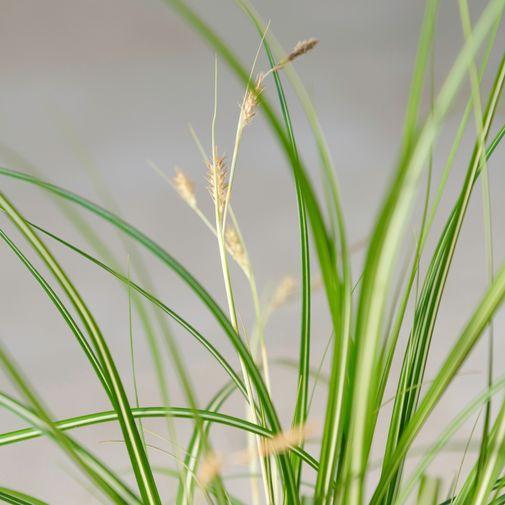 Plantes vertes et fleuries Carex
