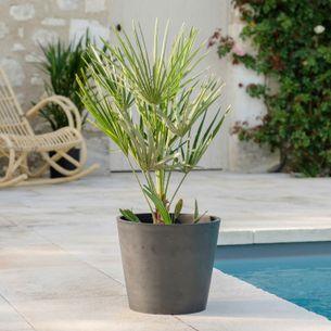 Plantes vertes et fleuries Chamaerops Humilis
