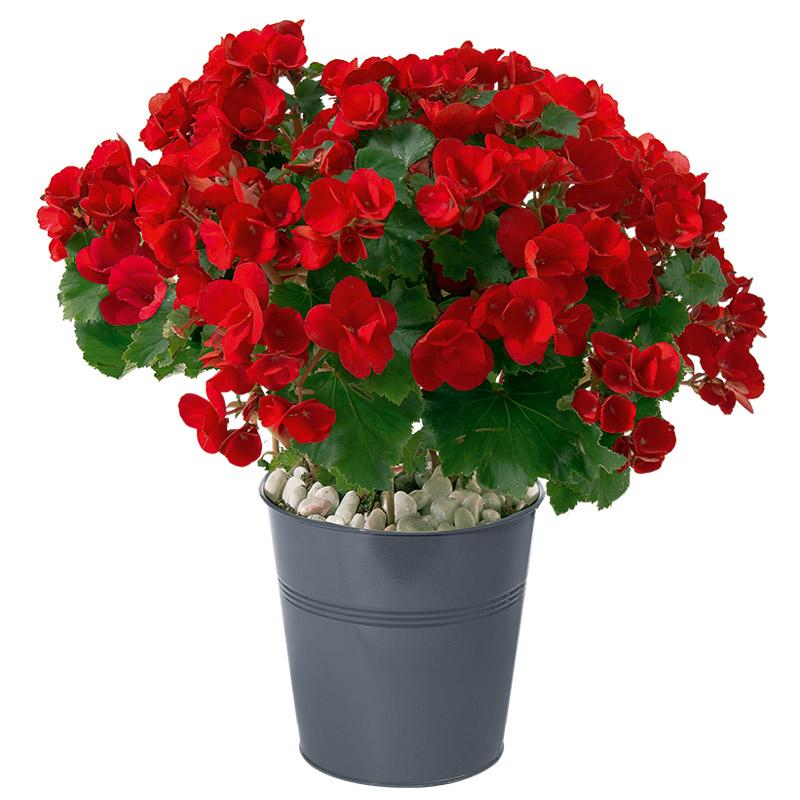 B gonia plante classique interflora for Fleuriste livreur