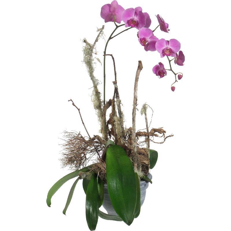Bouquet de fleurs Noble Orchid (plant)