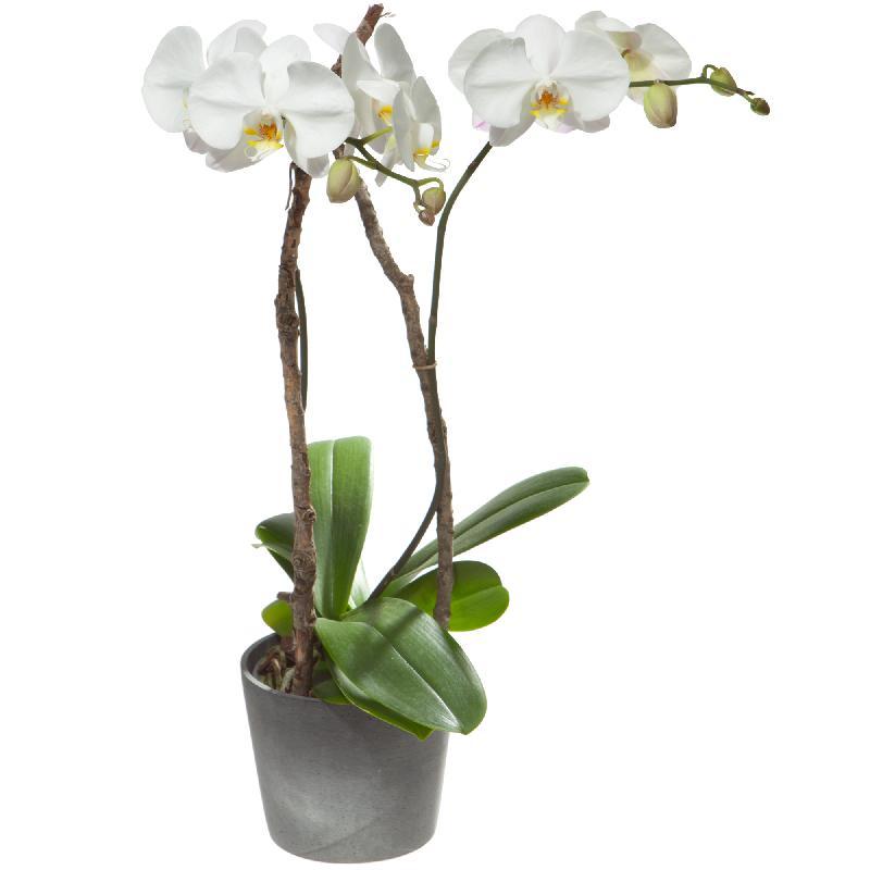 Bouquet de fleurs White Orchid (Phalaenopsis) in cachepot