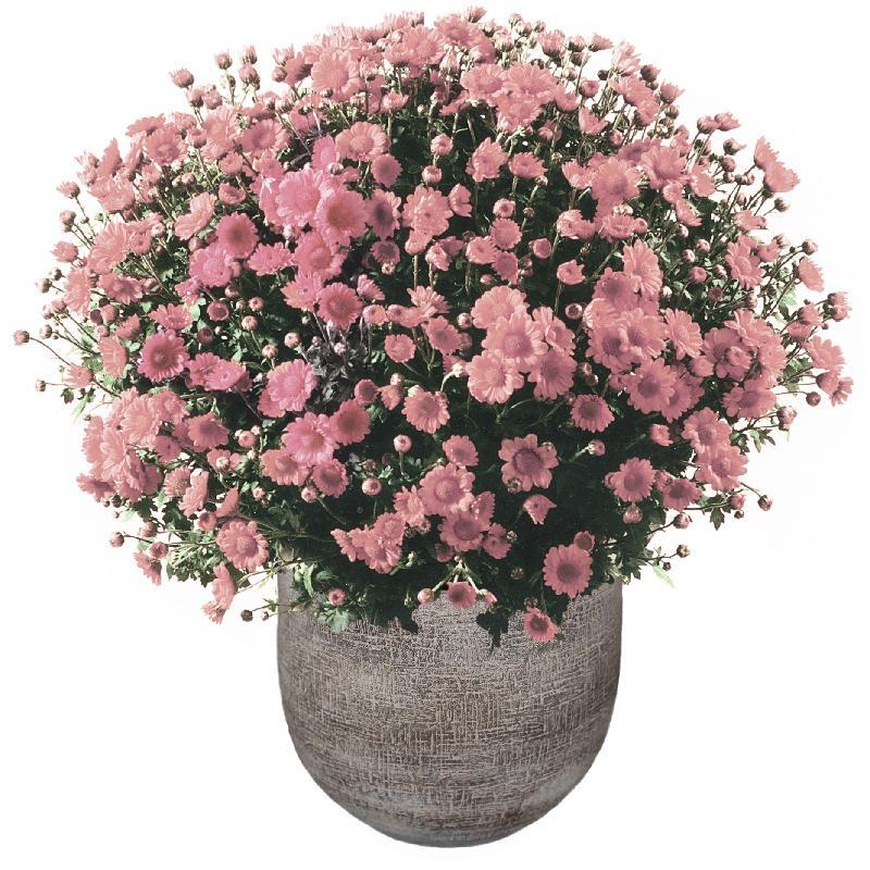 Bouquet de fleurs Chrysanthemum plant (pink) in a cachepot